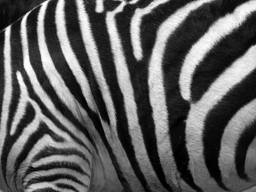 Zebra Photograph - Zebra Stripes by George Jones
