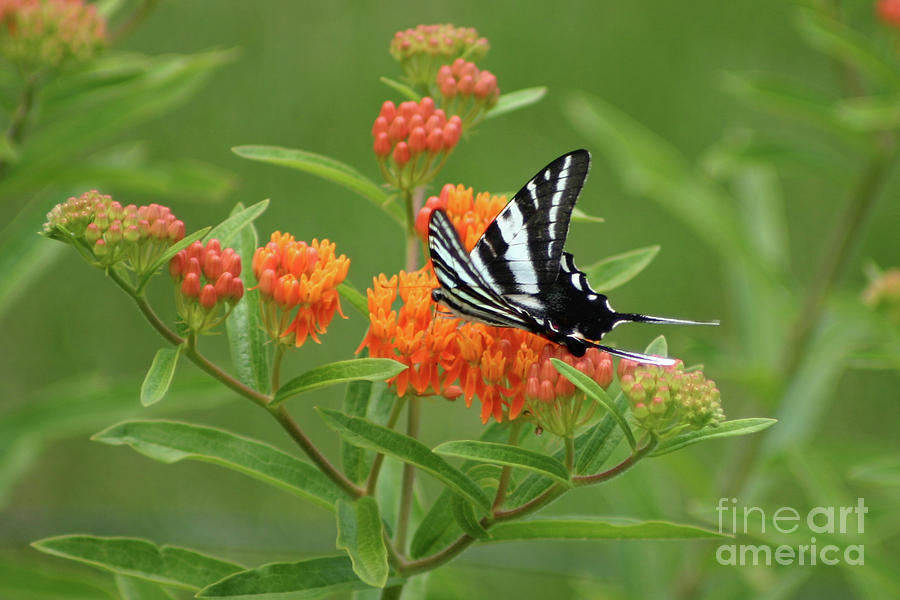 Zebra Swallowtail Butterfly 15264_v1 by Robert E Alter Reflections of Infinity