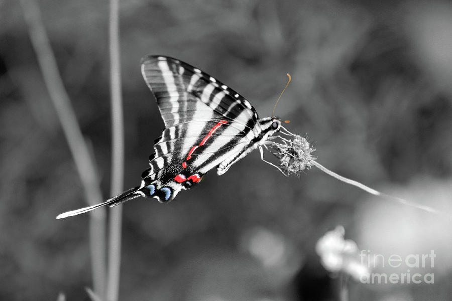 Zebra Photograph - Zebra Swallowtail Butterfly 2016 by Karen Adams