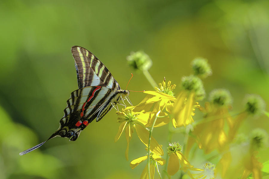 Zebra Swallowtail Butterfly by Lori Coleman