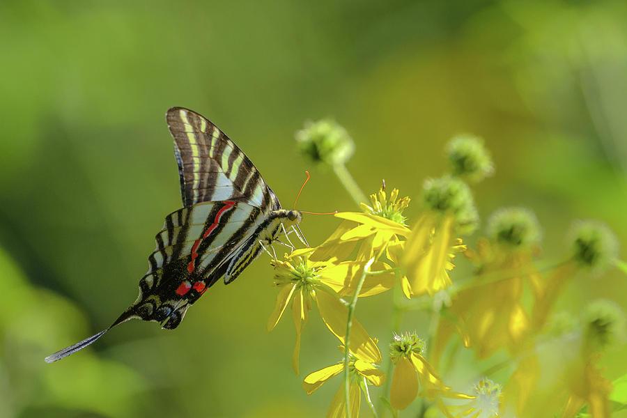 Zebra Swallowtail Butterfly by Lori Coleman