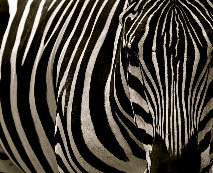 Zebra Photograph - Zebra Up Close by Caroline Reyes-Loughrey