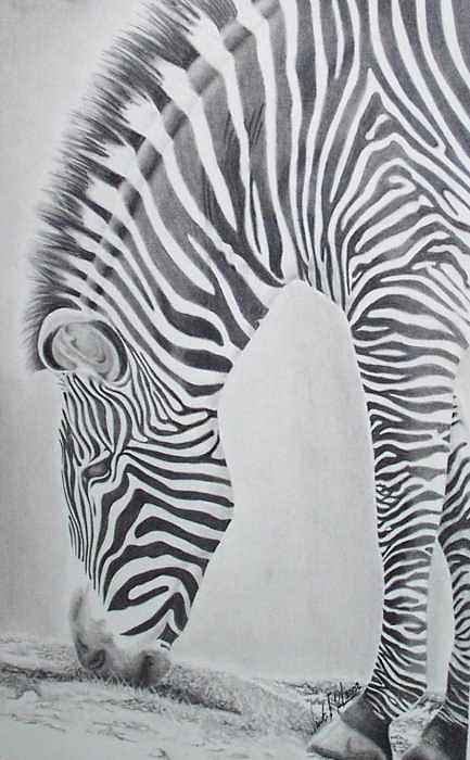 Animal Drawing - Zebra by Vincent Parker