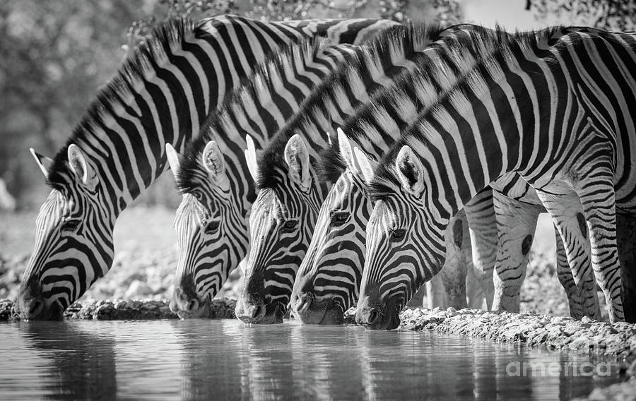 Africa Photograph - Zebras Drinking by Inge Johnsson