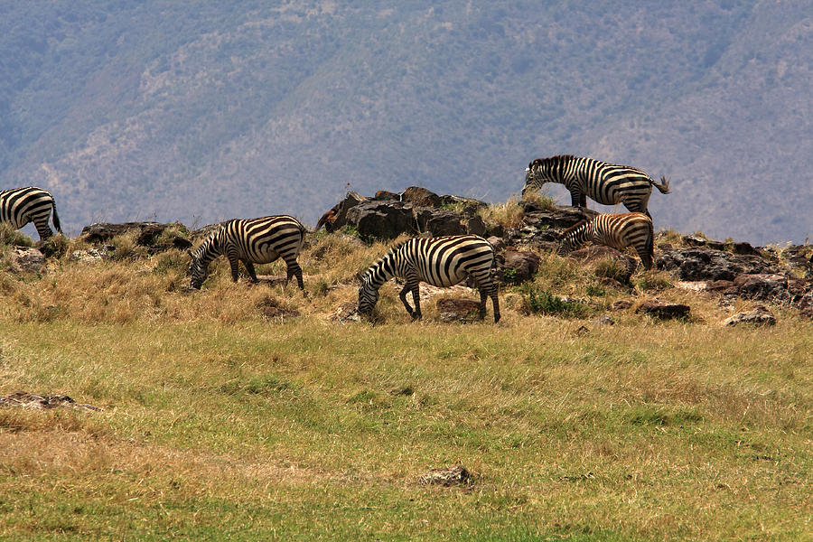 Zebra Photograph - Zebras In The Ngorongoro Crater, Tanzania by Aidan Moran