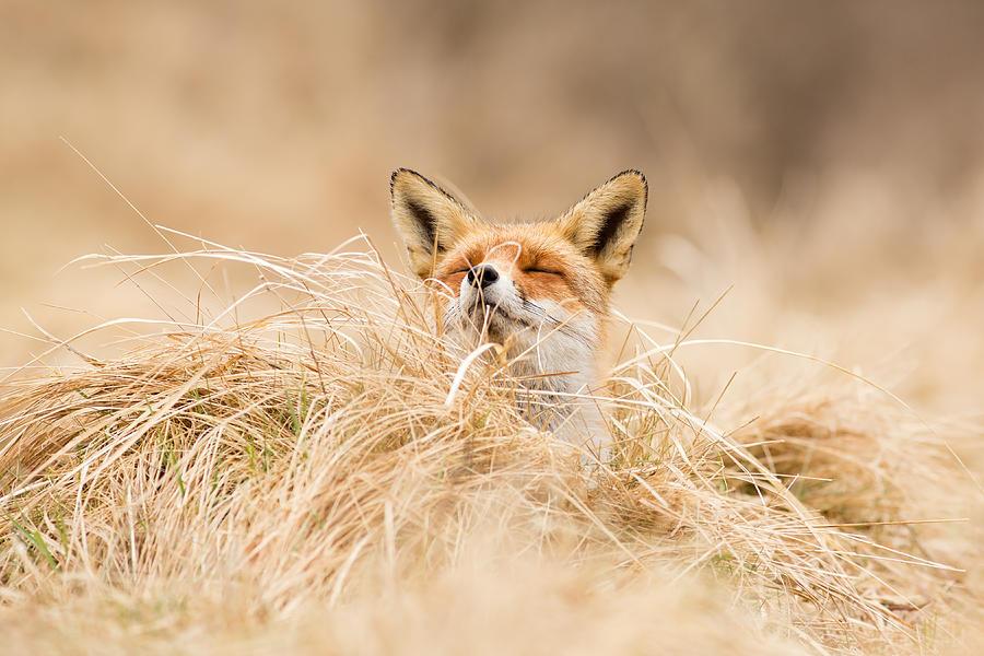 Fox Photograph - Zen Fox Series - Zen Fox 2.7 by Roeselien Raimond