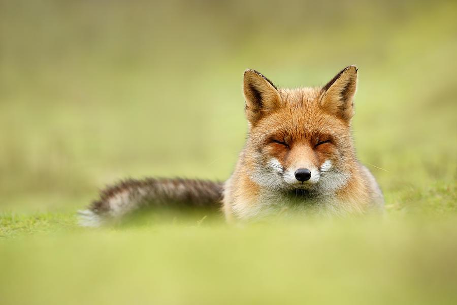 Red Fox Photograph - Zen Fox Series - Zen Fox in a Sea of Green by Roeselien Raimond