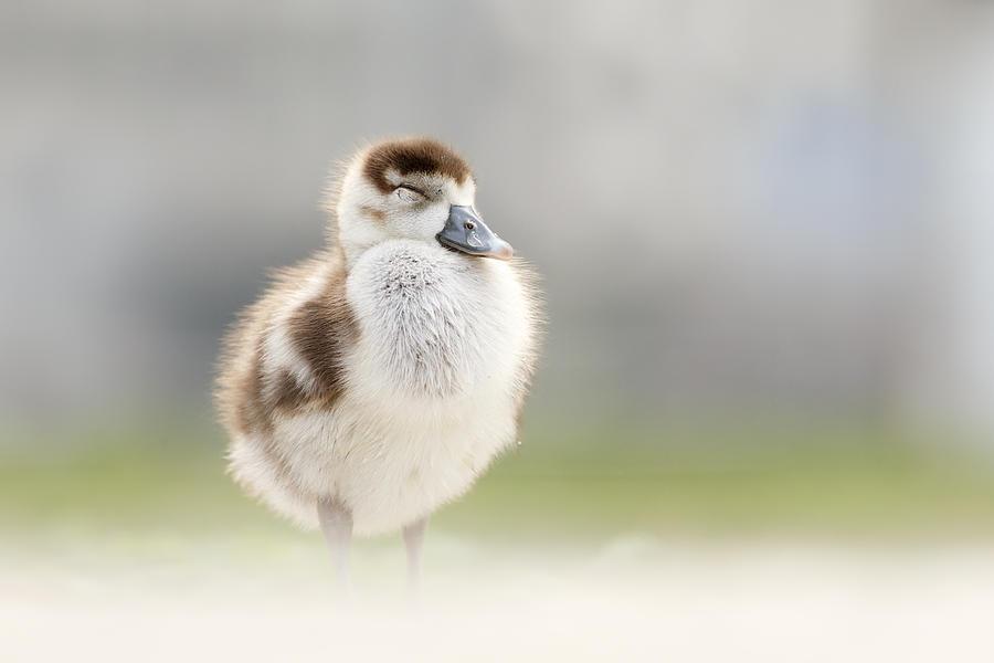9cd6ea1ff231 Egyptian Goose Photograph - Zen Gosling by Roeselien Raimond