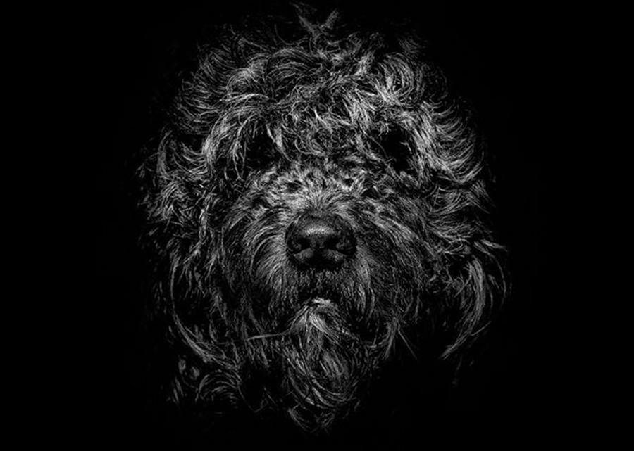 Blackandwhite Photograph - Ziggy. Our 10 Year Old, 39kg Golden by Brian Carson