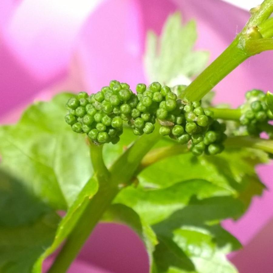 Vineyard Photograph - #zinfandel #wine #grapes Baby Buds by Shari Warren