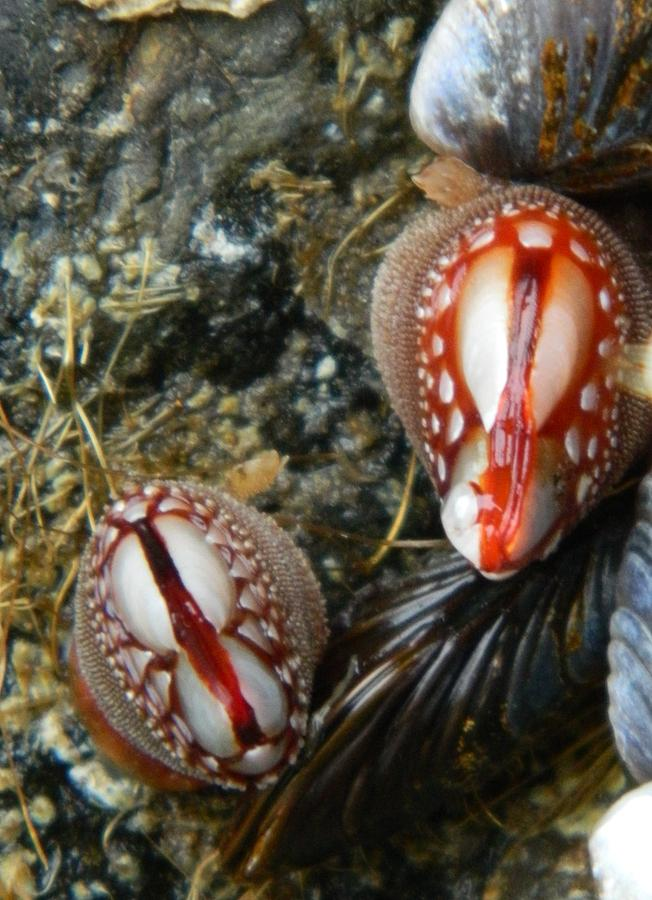 Clams Photograph - Red And Gooey by Gallery Of Hope