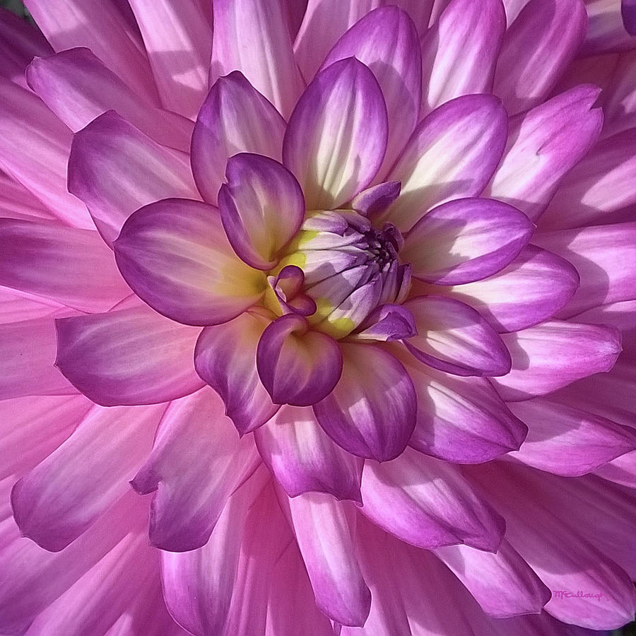 Zinna Pink 3 by Duane McCullough