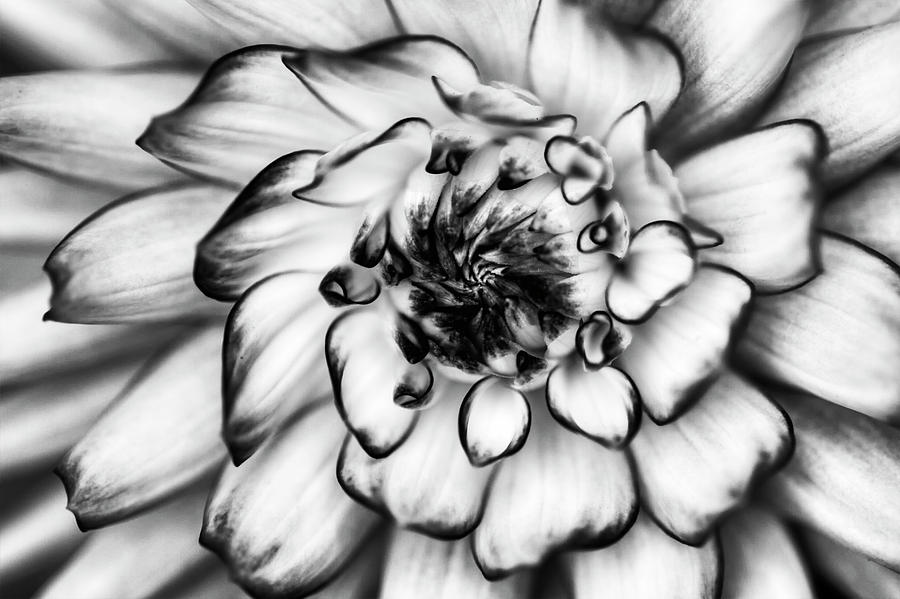 Zinnia Photograph - Zinnia Close Up In Black And White by Mark Kiver