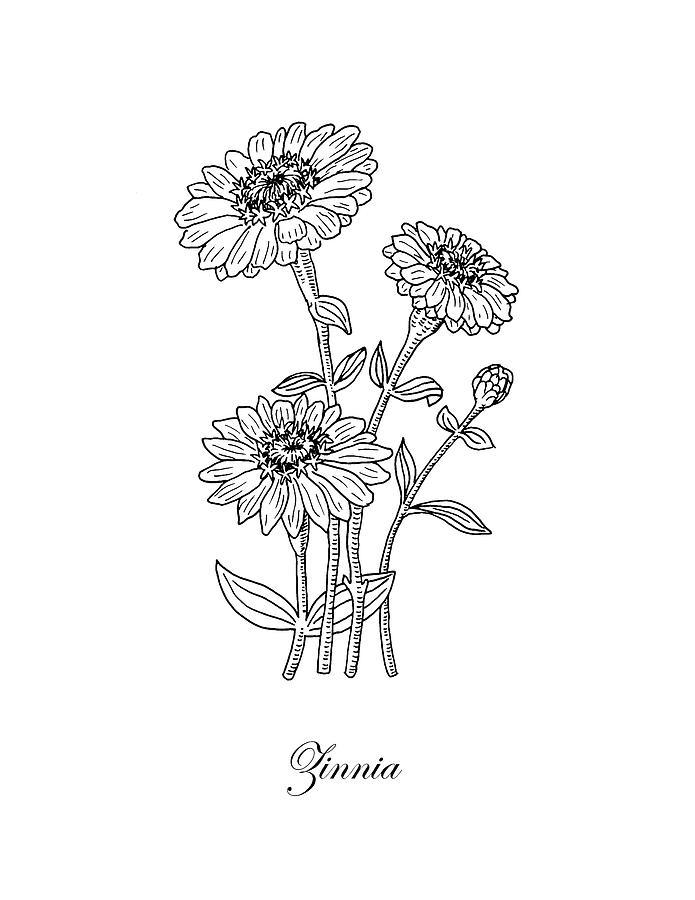 Zinnia Flower Botanical Drawing Drawing By Irina Sztukowski