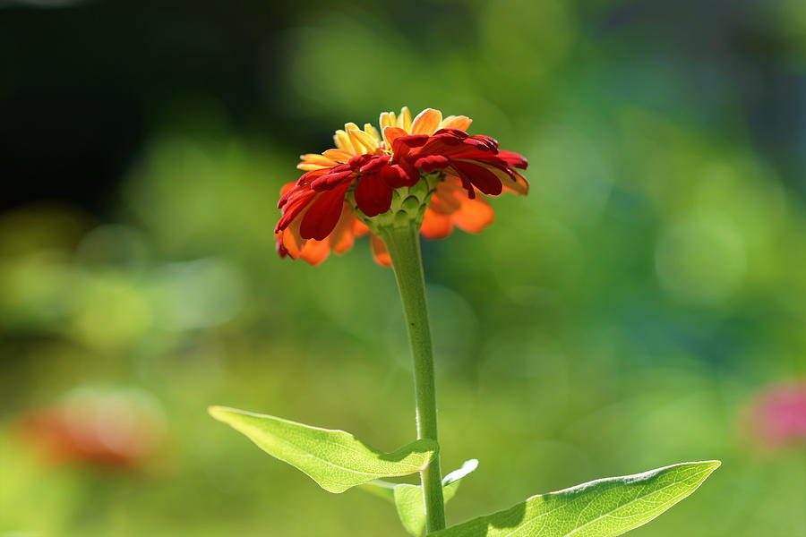 Zinnia Photograph - Zinnia Flower by Carrie Goeringer