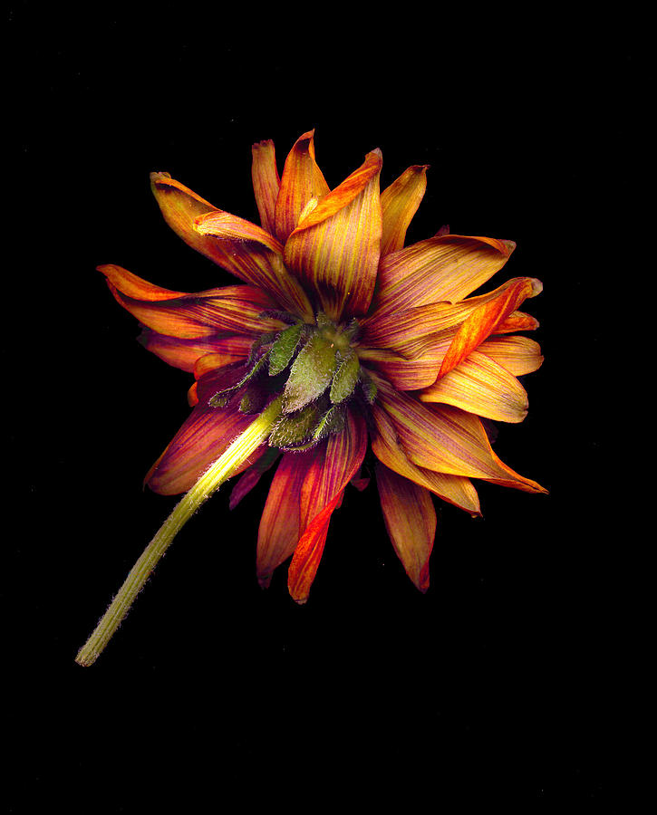 Flowers Photograph - Zinnia by Geoff Ault