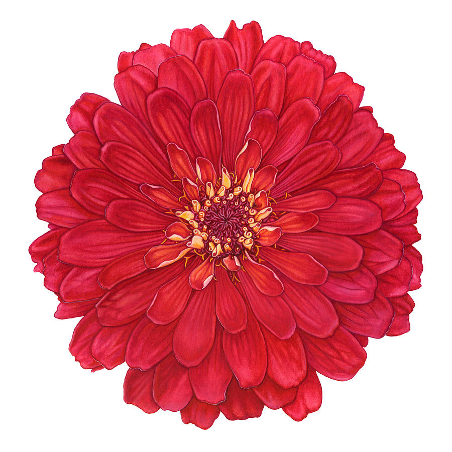 Zinnia Painting - Zinnia in Red by Suzannah Alexander