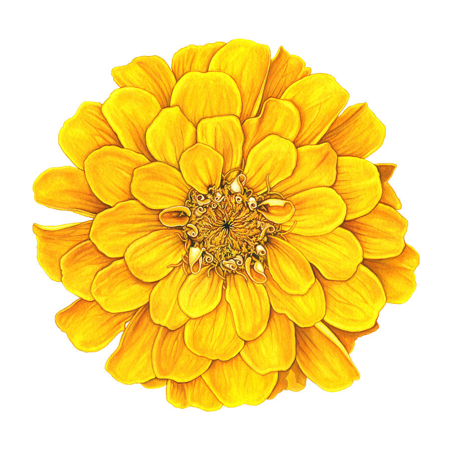 Zinnia Painting - Zinnia In Yellow by Suzannah Alexander