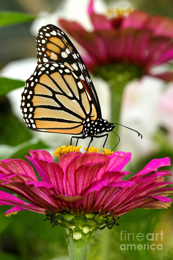 Monarch Photograph - Zinnia Rose And Monarch by Steve Augustin