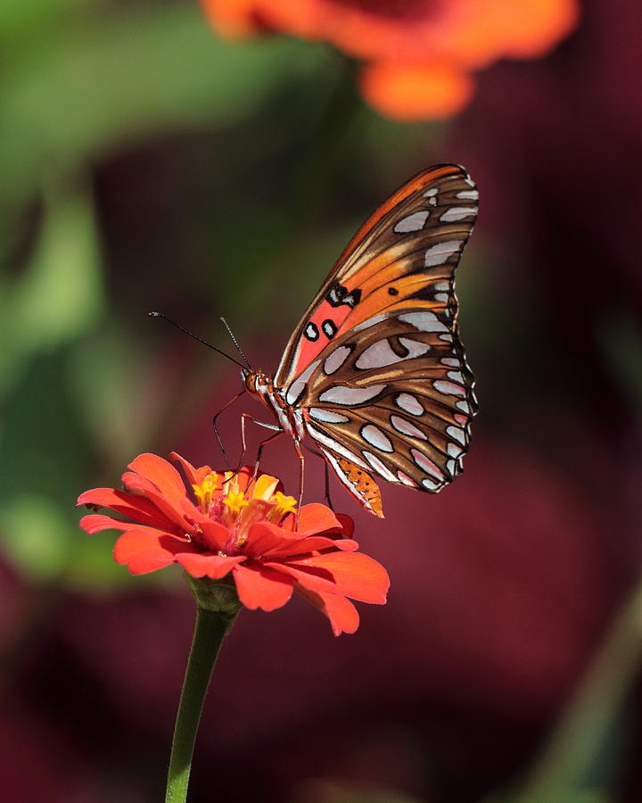 Zinnia with Butterfly 2668 by John Moyer