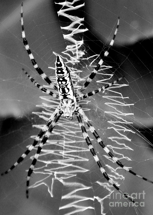 Zipper Spider Black And White Photograph By Carol Groenen