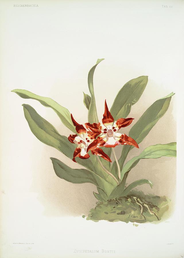Botany Photograph - Zygopetalum Burtii by Ricky Barnard