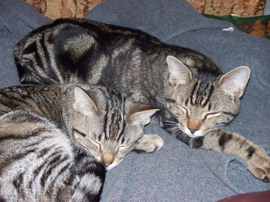 Cats Photograph - Zzzzzzz by Rosanne Bartlett