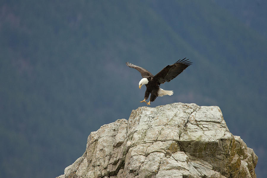 Bald Eagle Landing, Howe Sound by Matthias Breiter