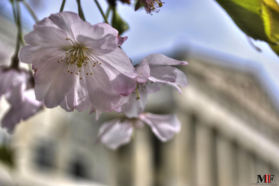 020 Cherry Blossoms At Japanese Gardens 5may19 Photograph