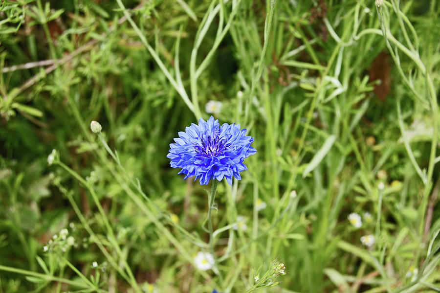 06/07/19  HESWALL. The Wirral Way. Blue Cornflower. by Lachlan Main