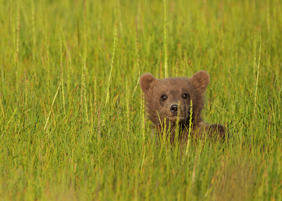 A Brown Bear Cub In The Long Grass In Photograph by Mint Images - Art Wolfe