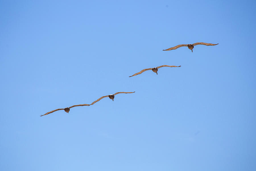 A Flock of Pelicans 6 by David Stasiak
