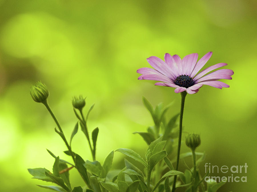 African Daisy On A Brilliant Spring Day by Dorothy Lee
