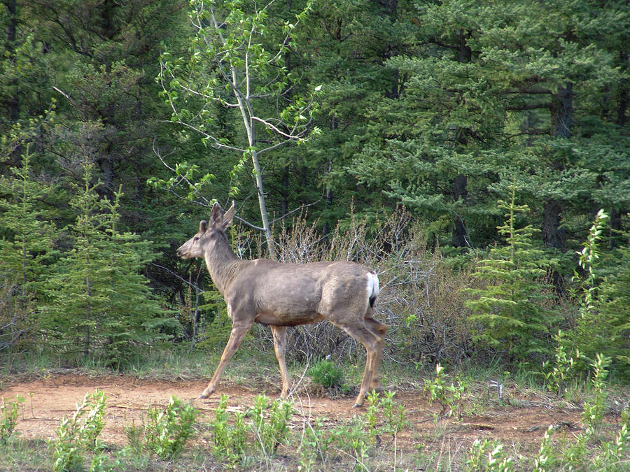 Alaska Highway Deer Photograph