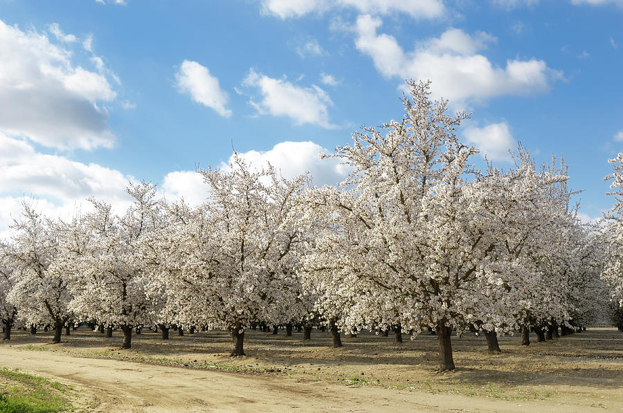 Almond Orchard With Springtime Blossoms Photograph by Gomezdavid