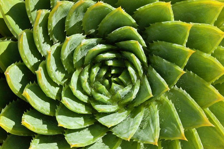 Aloe_Polyphylla_8536.psd by Mark Shoolery