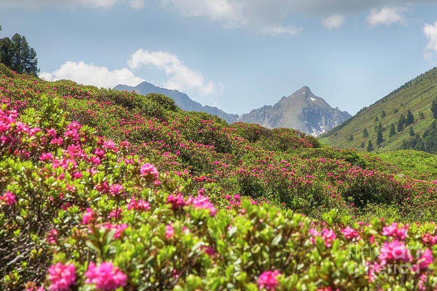Alpenrosen by Fabian Roessler