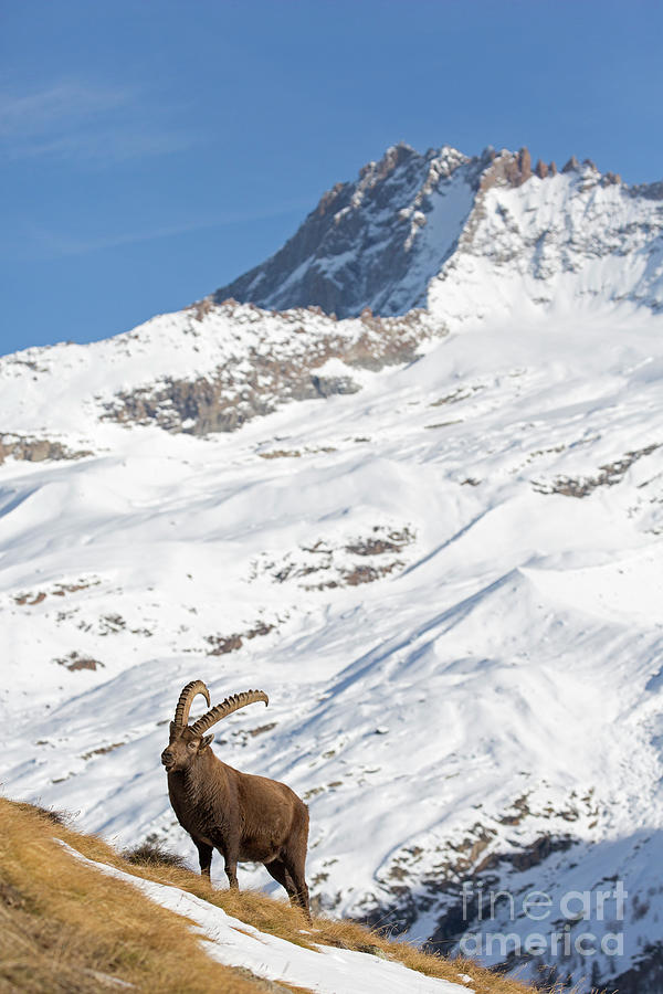 Alpine Ibex in Winter by Arterra Picture Library