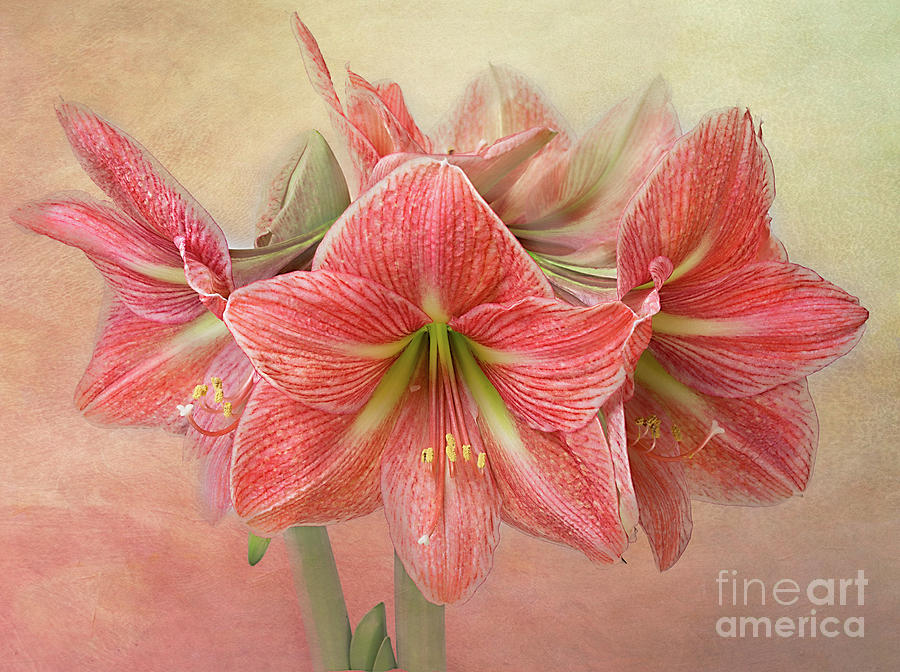 Amaryllis  'Terra Cotta Star' by Ann Jacobson
