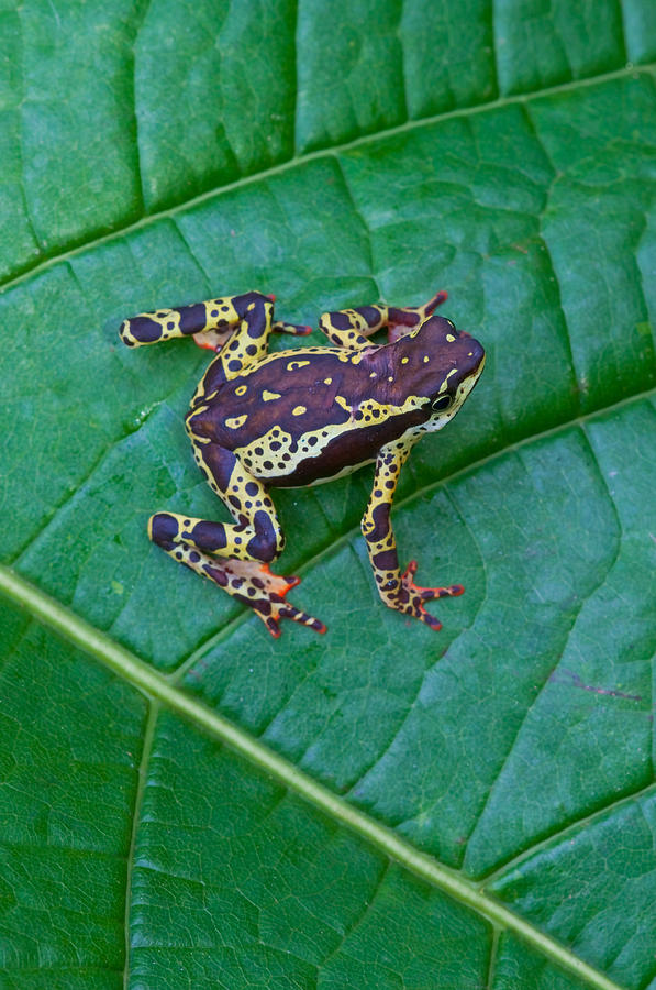 Amazonian Rainforest Photograph - Amazon Harlequin Toad by Michael Lustbader