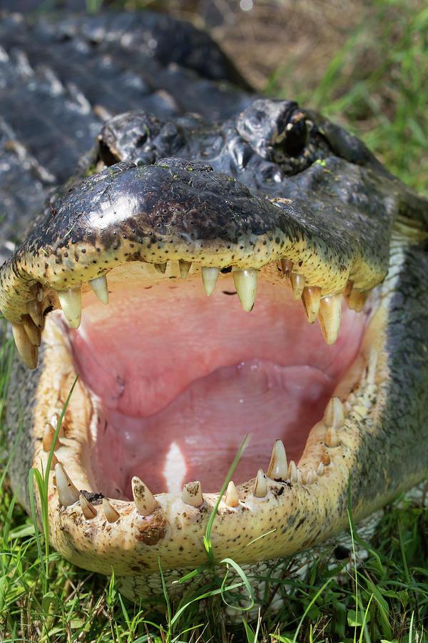 Aggression Photograph - American Alligator by Ivan Kuzmin