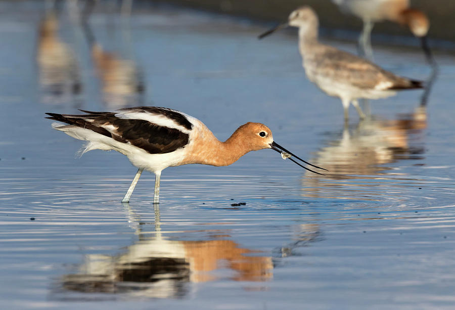 American Avocet Eating Fish by Ivan Kuzmin