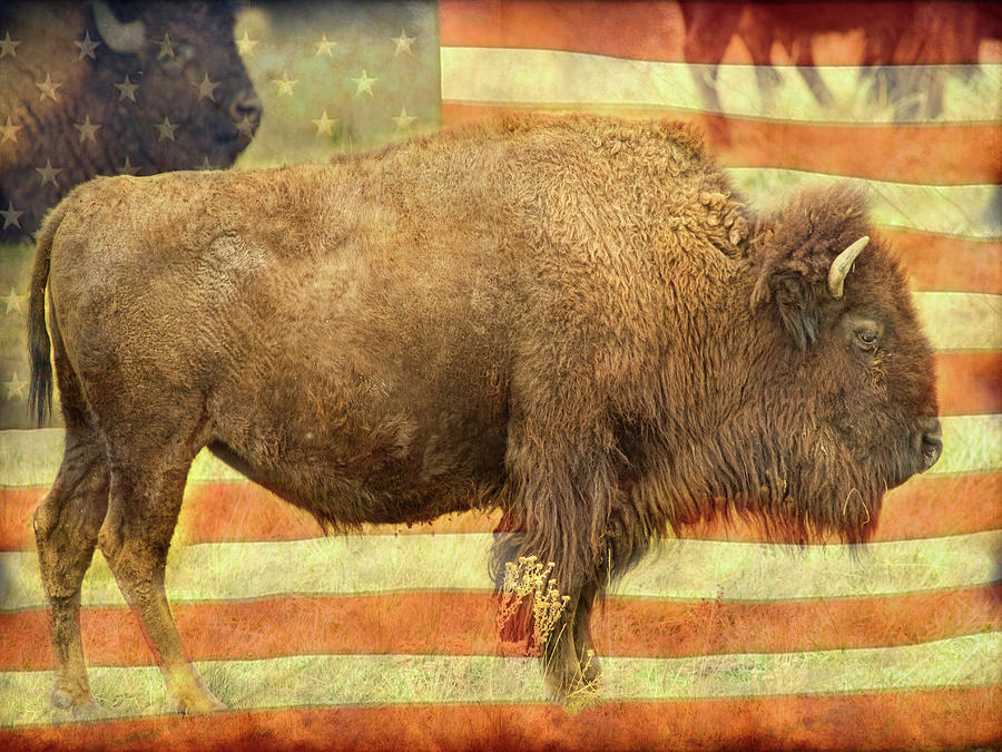 American Buffalo by James BO Insogna