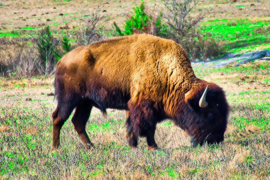 American Buffalo, Photograph