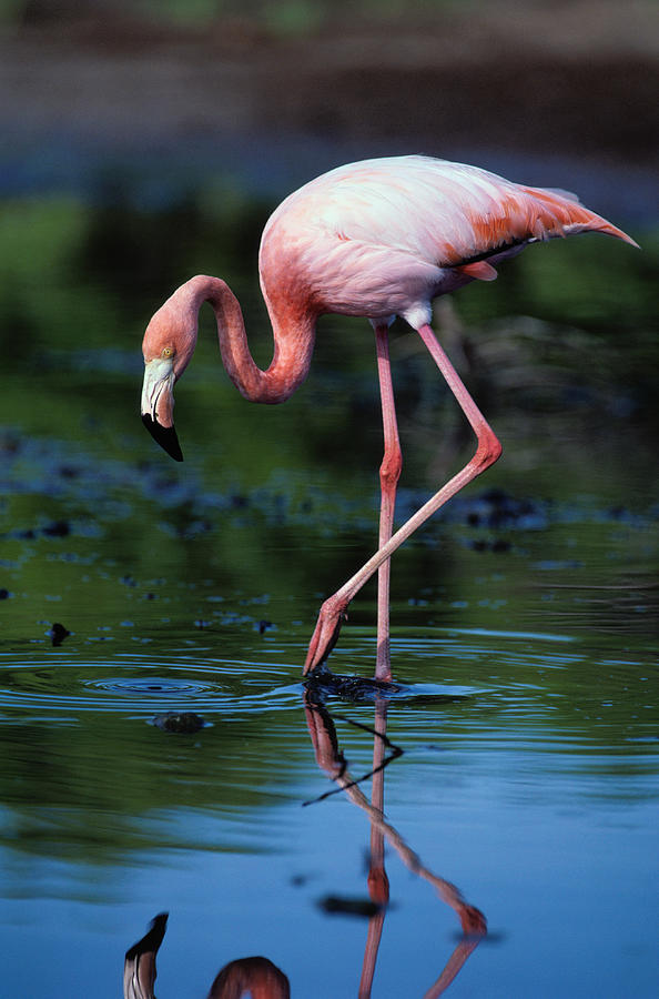 American Flamingo Phoenicopterus Ruber Photograph by Art Wolfe