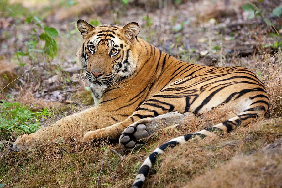 An Adult Tiger In Bandhavgarh National Photograph by Mint Images - Art Wolfe