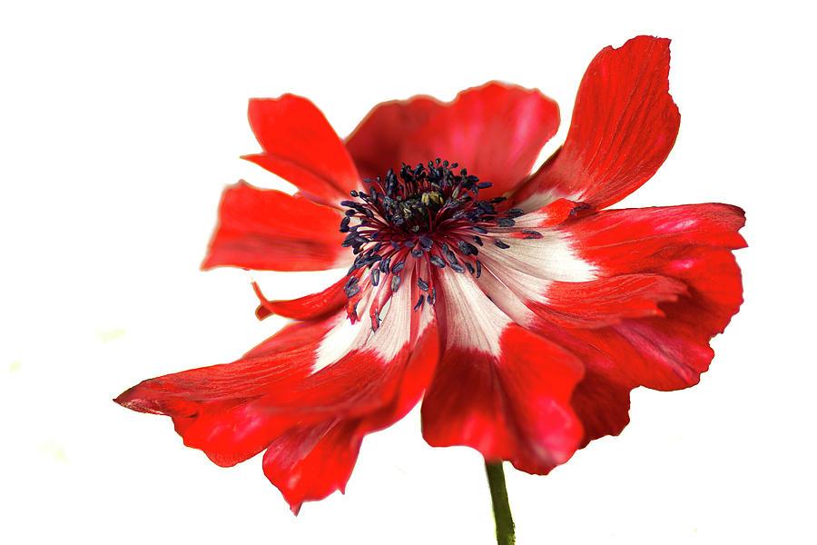 Anemone by Ken Mickel