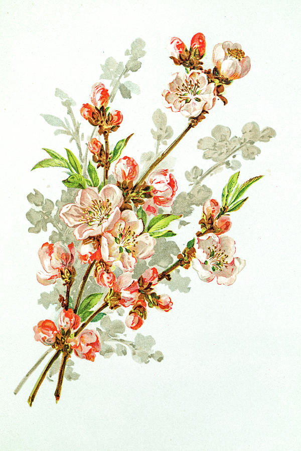 Apple Blossom 19 Century Illustration Digital Art by Mashuk