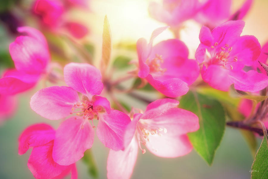 Apple Photograph - Apple Blossom 6 by Leland D Howard