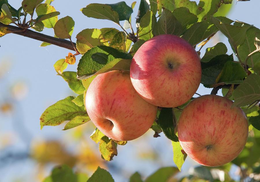 Apples On Branch Photograph by Alexandrumagurean